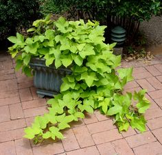 Image from http://www.public.asu.edu/~camartin/plants/Plant%20html%20files/green%20potato%20container.JPG.