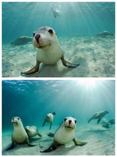 """Meanwhile in Australia... Sea Lions Happily Swimming About."""