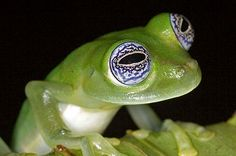 Image detail for -Frogs: The Thin Green Line : TreeHugger