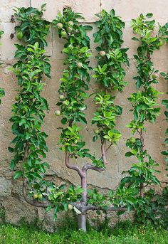 This is what I'd like to do to pear trees in our yard.