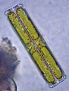 Life in a Few Drops of Water: Diatoms
