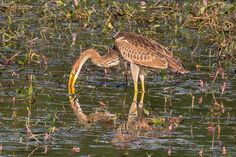 Purple heron -