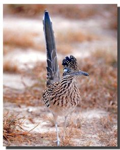 Bring nature indoors with this Greater Roadrunner bird animal art print poster. It will delicately pop from any wall surface and have a soothing effect on your decor. This poster helps to transform your living space from ordinary to a charming space. Hurry up and order this poster for its excellent quality with high degree of color accuracy.