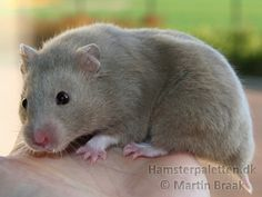 Light Blue / Dove Diluted sh hamster (aaddpp - L_)