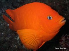"""noaasanctuaries: """" What're you looking at? California's state marine fish, the garibaldi, lives in the rocky reefs and kelp forests of Channel Islands National Marine Sanctuary. Garibaldis are highly territorial and will fend off larger fish and. Underwater Creatures, Underwater Life, Ocean Creatures, Kelp Forest, Wild Waters, Beneath The Sea, Fish Tales, Monterey Bay Aquarium, Marine Fish"""