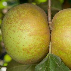 Belle de Boskoop Apple Tree