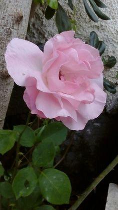 Rosa rosa ... Dal mio giardino