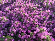 """Purple Carpet"" creeping thyme is a beautiful, colorful alternative to grass."