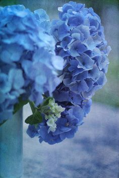 Great tip!  Place pennies or citrus peels around the base of hydrangeas to adjust the pH level of the soil and encourage more of a blue color.