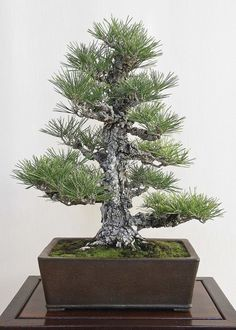 Bonsai from the 2013 Golden State  Bonsai Convention