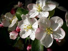 Fleur De Pommier, Apple, Printemps