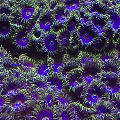 """Here is the amazing results I have gotten with polyplabs reef roids on my purple maze Zoas."" @dirkwussow #polyplab . Want us to feature your tank? Direct Message us your pictures for a feature!  #coral #reeftank #coralreeftank #reef #reefpack #reef2reef #reefcandy #reefersdaily #reefrEVOLution #coralreef #coraladdict #reefaholiks #reefjunkie #reeflife #instareef  #allmymoneygoestocoral #instareef  #reefpackworldwide #ilovemyreef #rarecorals #reefing #exoticcorals #reefporn #reeferdise…"