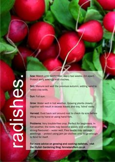radishes growing guide >> I've been craving radishes somethin fierce