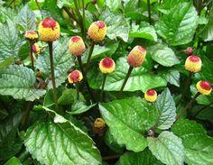 10 Medicinal benefits of Akarkara Herb