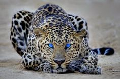 Fantasy Leopard Big Cat With Bright Blue Eyes Animals Art Box A1 .