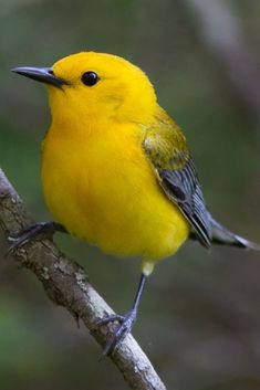 The prothonotary warbler is a small songbird of the new world warbler family. It… Der prothonotary Trällerer ist ein kleiner Singvogel der neuen Welt Trällererfamilie. Cute Birds, Pretty Birds, Small Birds, Colorful Birds, Little Birds, Beautiful Birds, Animals Beautiful, Yellow Birds, Yellow Animals