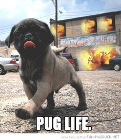 I didn't choose the pug life. The pug life chose me. Blowing up buildings, it's the puggalicious thug life!