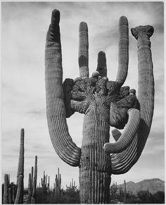 "View of cactus and surrounding area ""Saguaros, Saguaro National Monument,"" Arizona. (Vertical Orientation) | Flickr - Photo Sharing!"