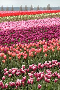 Tulips Photograph - Fields Of Tulip Town In Mount Vernon Washington by Pierre Leclerc Photography Tulips Garden, Tulips Flowers, Spring Flowers, Planting Flowers, Beautiful Flowers, Mount Vernon Washington, Washington Usa, Flower Carpet, Tulip Fields