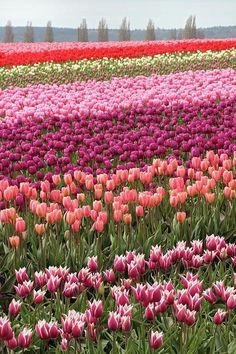 Tulip field, Mount Vernon, Washington USA