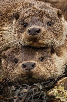**Eurasian Otters, Shetland Islands. Photograph by Charlie Hamilton James.