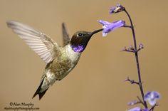 Black-chinned Hummingbird 13 - Travis Co, TX - May www.alanmurphyphotography.com
