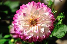 Dahlia, Les fleurs - MonSitePhotos.com