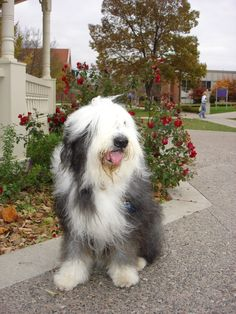 Old English Sheepdog * More info about pet dogs could be found at the image url.
