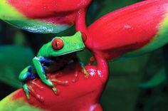Gaudy leaf frog - Rana arborea calzonuda (agalychnis callidryas) by Visit Costa Rica, via Flickr