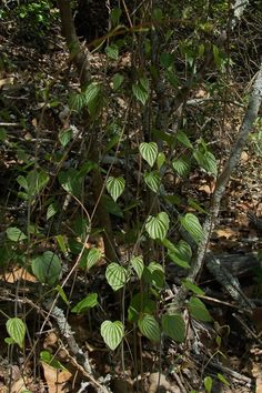 Know Your Natives – Wild Yam