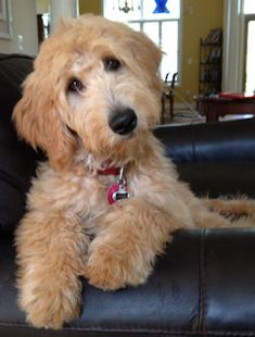 Australian Labradoodle Parent Dogs at Rainmaker Ranch Labradoodles Goldendoodle Haircuts, Goldendoodle Grooming, Poodle Grooming, Apricot Goldendoodle, Labradoodle Breeders, Australian Labradoodle, Goldendoodles, Labradoodles, Puppies And Kitties