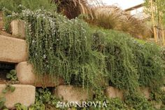 Huntington Carpet Rosemary -   Rosmarinus officinalis 'Huntington Carpet': Foliage can be used as a flavorful spice in cooking. Good shrub for cascading in planters and over retaining walls.
