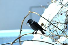 #karga - #Crow #wild #animal #photography #cold #winter #snow