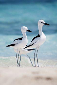 Stunning black and white shorebirds