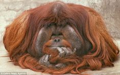 Pongo Pygmaeus - The Bornean Orangutan ~ Pondering Primates, Mammals, Animals Of The World, Animals And Pets, Baby Animals, Wild Animals, Cute Funny Animals, Funny Cute, Beautiful Creatures
