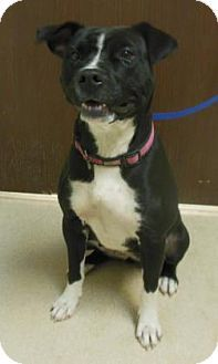 Gary, IN - Pit Bull Terrier Mix. Meet Black Dog, a puppy for adoption. http://www.adoptapet.com/pet/11710695-gary-indiana-pit-bull-terrier-mix