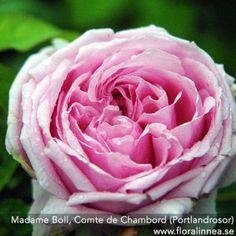Madame Boll, Comte de Chambord (Portlandrosor)