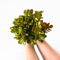 Crassula - jade plant