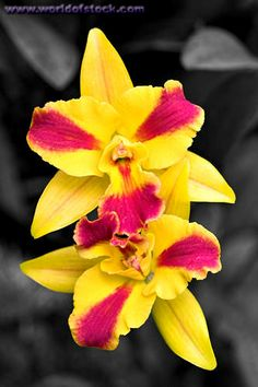 Two Yellow And Red Orchids Against A Grey Background. Hawaii ...