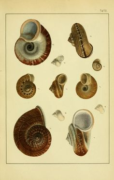 Die Land- und Süsswasser-Mollusken von Java : - Biodiversity Heritage Library