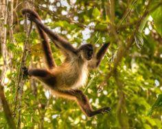 Amazon Rainforest Spider Monkey