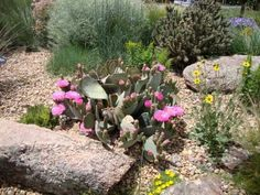 Opuntia basilaris | North American Rock Garden Society