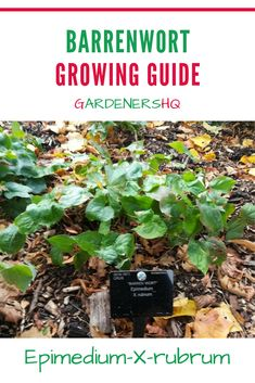 How to Grow Barrenwort, Bishop's hat, and other Epimedium Plant genus members in your Garden. These small plants are ideal to grow in rock gardens or to use as cover in shady parts of the garden. Shade Tolerant Plants, Partial Shade Plants, Soil Ph, Hardy Perennials, Garden Guide, Organic Matter, Small Plants, Barre, Grass
