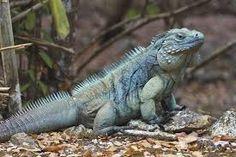 「Blue Iguana」の画像検索結果