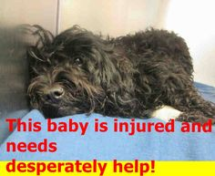 SAFE --- Angels for Animals Network A1364532  UNALTERED FEMALE , BLACK POODLE MIN MIX, Age: 2 YEARS, Additional Info: HIT BY CAR - MULTIPLE WOUNDS - FRACTURED FOOT Intake Condition: APC-MED  This animal has been at the shelter since 12/22/2014. Review Date: 12/27/2014 OC Animal Care. https://www.facebook.com/AngelsForAnimals.AFA/photos/a.10153669767540223.1073741939.315830505222/10154949698780223/?type=1