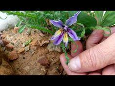 Rare Baboon Root - Babiana crispa - a species with curled leaves - YouTube Baboon, Rare Plants, Bulbs, Wild Flowers, Leaves, Youtube, Plant, Lightbulbs, Wildflowers