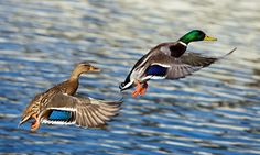 Contre l'abattage massif des canards