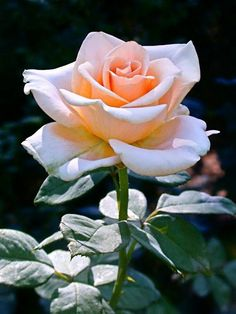 My Flower, Pretty Flowers, Exotic Flowers, Purple Flowers, White Flowers, Flower Art, Beautiful Roses, Beautiful Gardens, Photo Rose