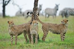 by Sean Crane, Cheetah Brothers Marking Territory.