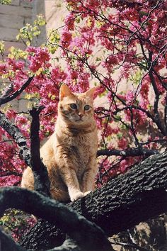 Can cats eat cherries? Maybe you've been eating your way through a bowl of fresh cherries and wondered whether your kitty could also snack on some. Cute Cats And Kittens, I Love Cats, Crazy Cats, Ragdoll Kittens, Bengal Cats, White Kittens, Adorable Kittens, Black Cats, Pretty Cats
